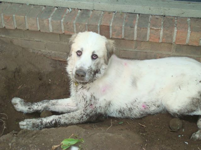 Pyr pup in mud